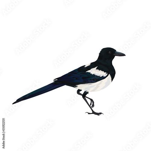 Fototapeta Realistic magpie sitting