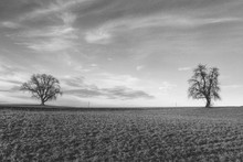 Two Bare Trees In Pasture