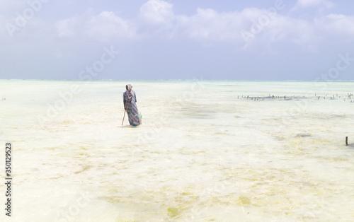 Rows of seaweed on a seaweed farm in kitesurfing lagoon near Paje village, Zanzibar island, Tanzania.