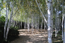 Himalayan Birch Trees In Forest