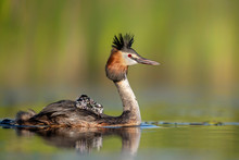 Great Crested Grebe ( Podiceps...