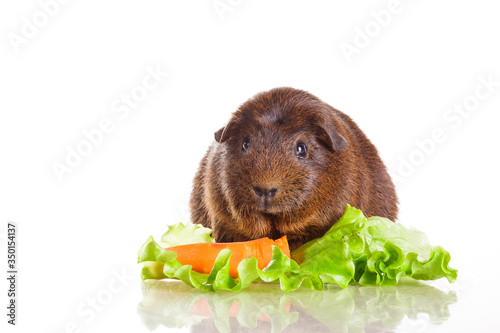 Photo guinea pig agouti short-haired breed on white isolated background in the grass w