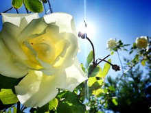 Low Angle View Of White Rose Blooming Against Blue Sky On Sunny Day