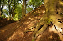Exposed Tree Roots In Prestwich