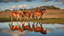 Herd Of Cold-blooded Horses And Their Reflection In The Water