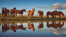Herd Of Cold-blooded Horses An...