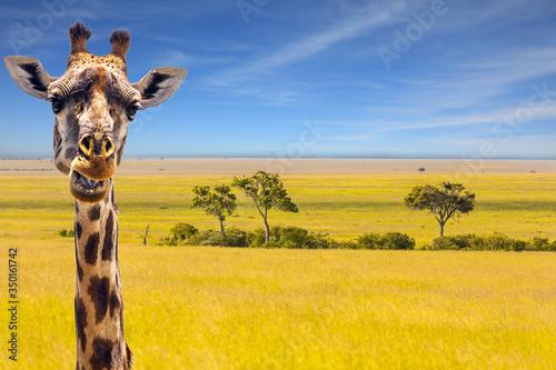 The cheerful giraffe in savanna Fotobehang
