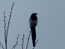 Close-up Of Black Billed Magpie Against Clear Sky