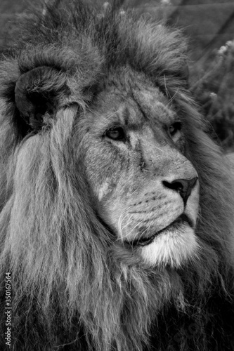 Close-up Of Lion Looking Away On Field Canvas Print