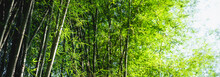 Bamboo Tree Bamboo Forest Gree...