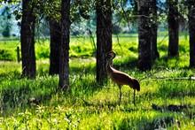 Sandhill Crane By Trees On Gra...