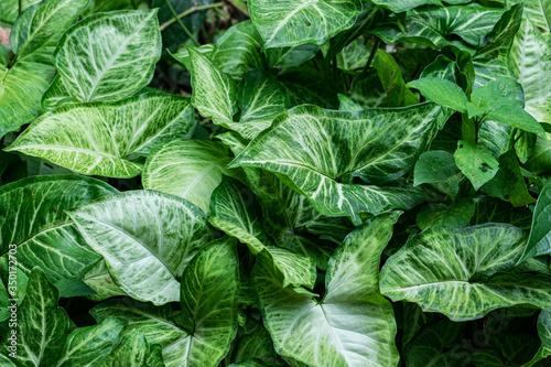 Fototapeta tropical leaves, abstract green leaves texture, nature background obraz na płótnie