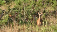 White-tailed Deer Doe Fawn Alarmed Nervous Wary Looking At Camera In Forest