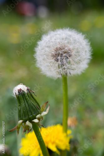 Mniszek lekarski, dmuchawiec z nasionami na szypułce kwiatu - 350180707