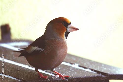 Obraz na plátne Close-up Of Hawfinch On Wood