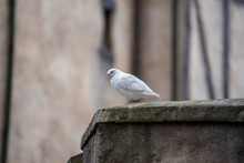 White Dove Sitting On A Old Roof In A Mountain Village Near The City Of Danang, Vietnam