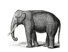 Illustration Of A Indian Eleph...