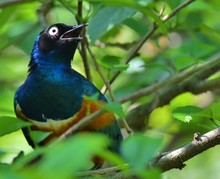 Close-up Of Superb Starling On Tree