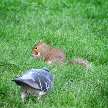 Squirrel And Pigeon On Grass