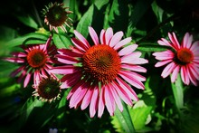 Close-up Of Eastern Purple Coneflowers Blooming In Lawn
