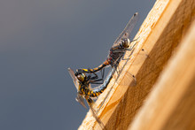 Two Dragonflies Resting On Woo...