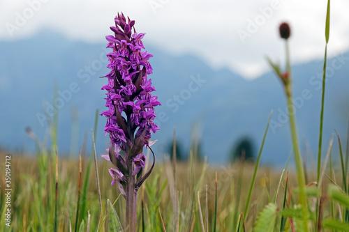 Orchidee Knabenkraut, Orchis, geschütze Pflanze, Murnauer Moor, Bayern, Deutschland © si2016ab