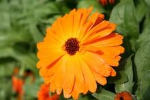 Close-up Of Pot Marigold Bloom...