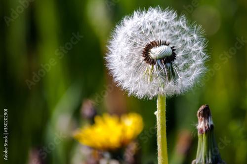 polne kwiaty, dmuchawiec w całej swej okazałości, bujna łąkowa zieleń  - 350202901