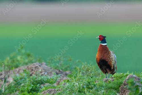 Fotografie, Obraz Pheasant in Springtime