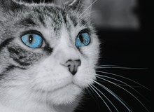 Close-up Of Cat With Blue Eyes