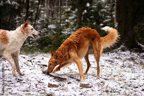 Fotografia Puppy borzoi walks outdoor at winter day