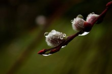 Raindrops On Flower Buds