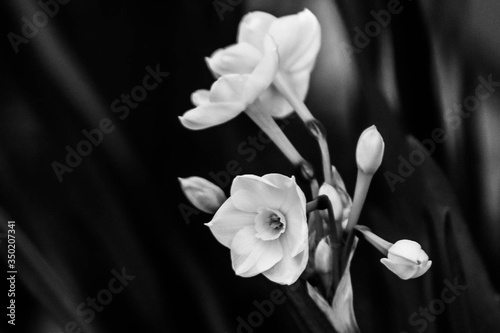 Fotografie, Obraz Close-up Of Daffodils