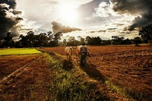 Farmer With Bulls Plowing Field Against Cloudy Sky At Sunrise
