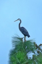Low Angle View Of Great Blue H...