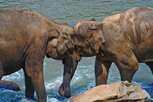 Elephants Displaying Affection...