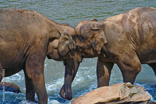 Elephants displaying affection in river Wallpaper Mural
