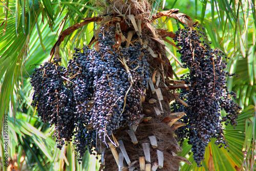 acai berries on a palm tree Canvas Print