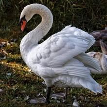 Swan Standing On Field