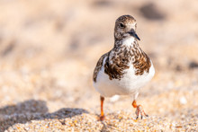 Front View Of A Non-breeding R...