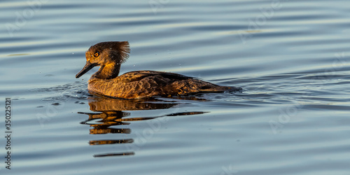 An immature male Hooded Merganser (Lophodytes cucullatus) swimming on top of the water in the Merritt Island National Wildlife Refuge, Florida, USA Canvas Print