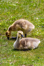 Two Young Chicks
