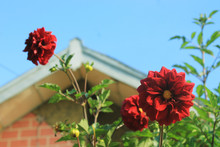 Dahlias In Front Of The House ...