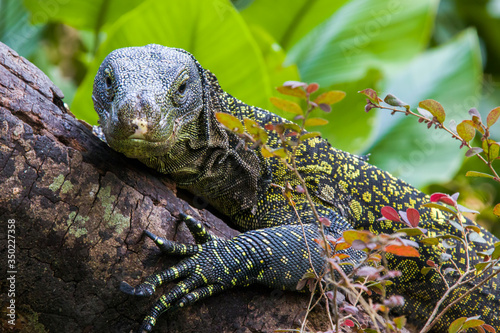 Salvadori's monitor (Varanus salvadorii) is one of the longest lizards in the world It is an arboreal lizard with a dark green body marked with bands of yellowish spots Canvas Print