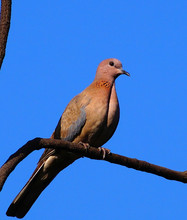 Low Angle View Of Mourning Dove Perching On Twig Against Clear Blue Sky