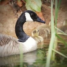 Canada Goose And Goslings Swimming On Lake