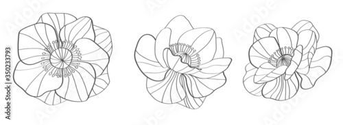 Photo Anemones line drawing. Flower silhouette.