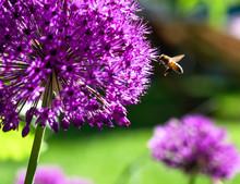 A Bee Flies To A Pink Ball Leek Flower Purple Allium Giganteum In A Green Summer Garden.