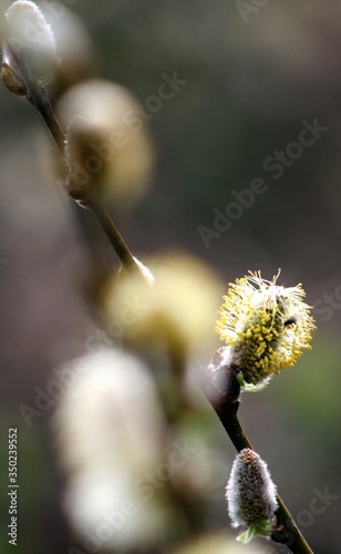 Fotografie, Obraz Close-up Of Yellow Pussy Willow Flowers
