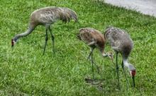 Sandhill Cranes In Grassy Field